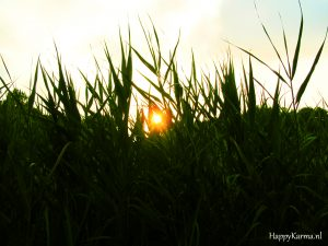 Sun through reed
